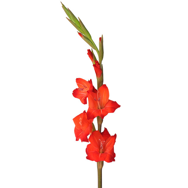Gladiolus Red