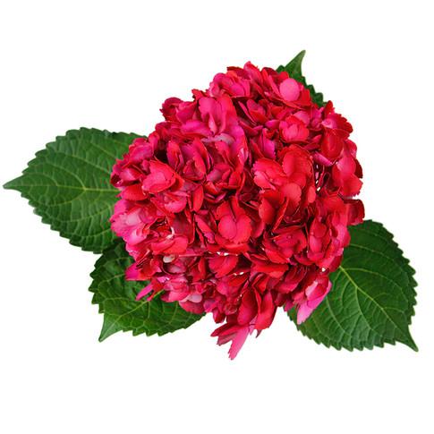 Hydrangea Cereza