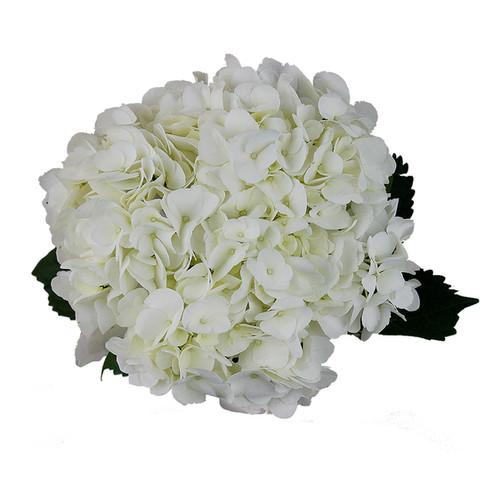Hydrangea Extra White