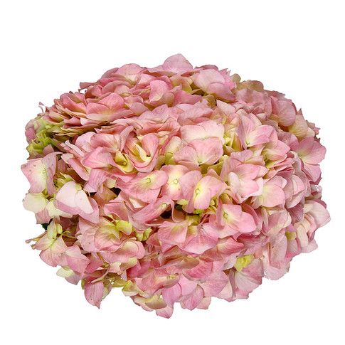 Hydrangea Pink Extra