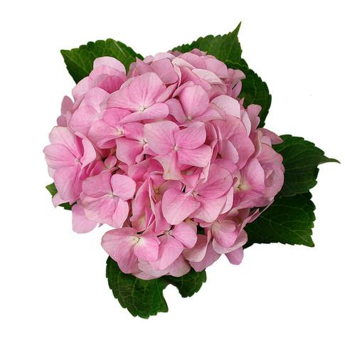 Hydrangea Charmant Pink