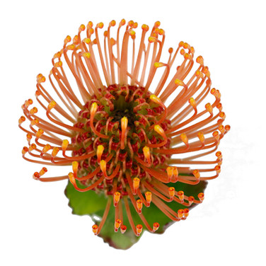 Protea Pin Cushion Orange