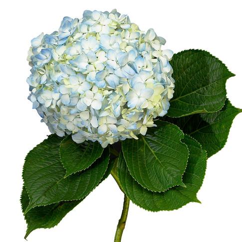 Hydrangea Light Blue