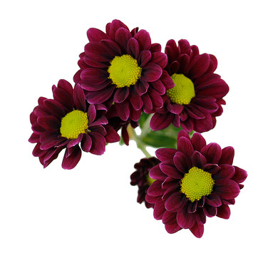 Daisy Purple Handsome