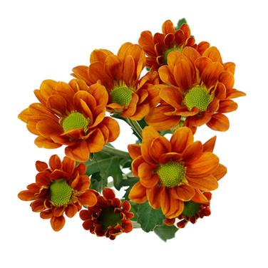 Daisy Managua Orange