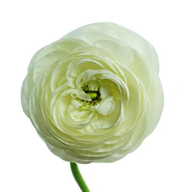 Ranunculas White