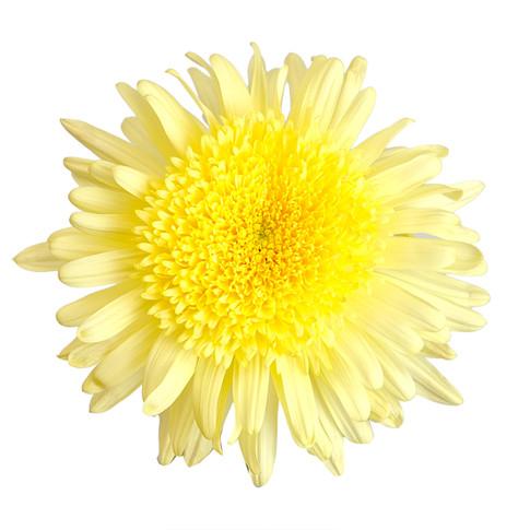 Eleonora Yellow
