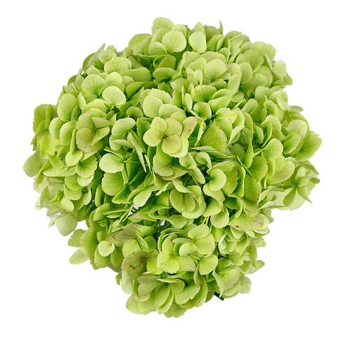 Hydrangea Sage