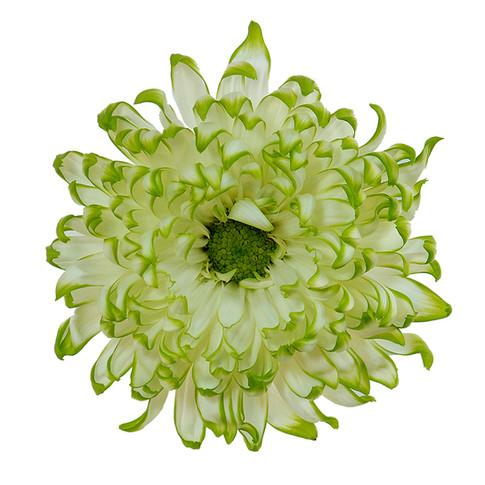 Lime Zembla Bi-color