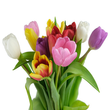 Tulip Dutch Assorted