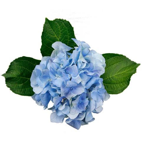 Hydrangea Charmant Blueberry