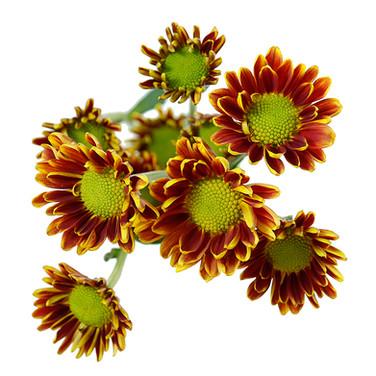Daisy Bicolor Cocarde