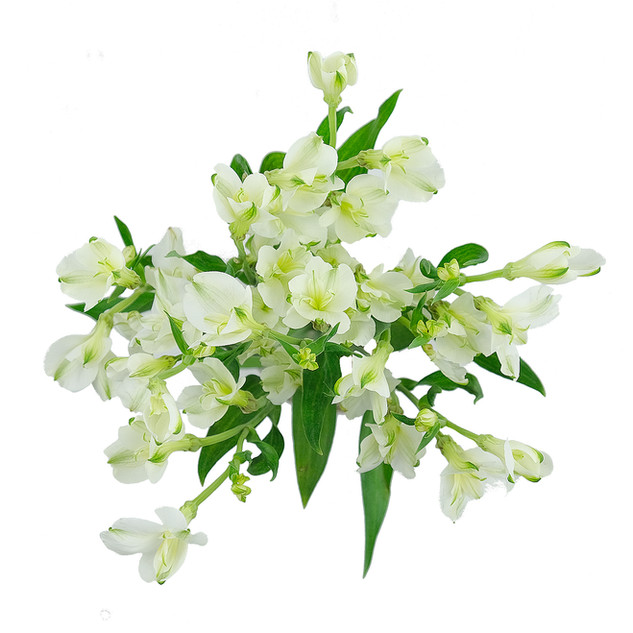 Alstro Florinca White