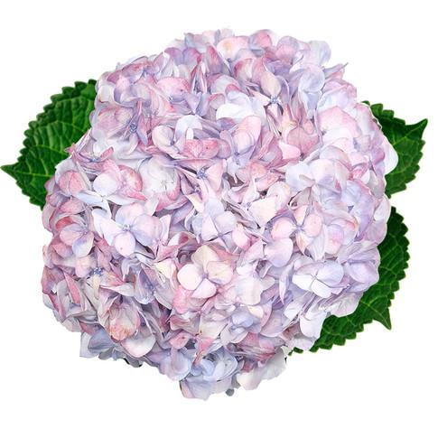 Lavender Jumbo