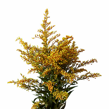 Solidago Airbrushed Golden
