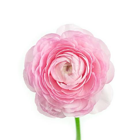 Ranunculas Pink