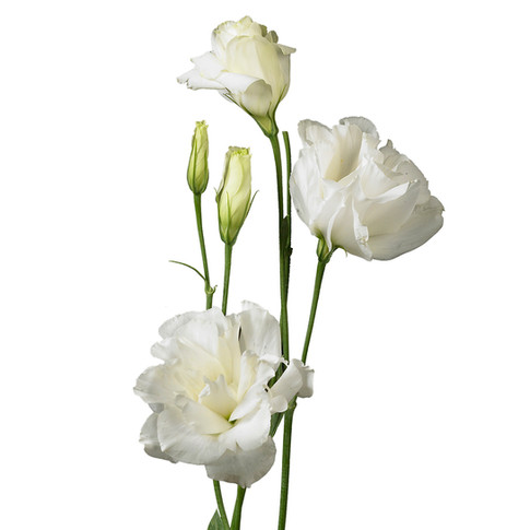Lisianthus Brillianthus White