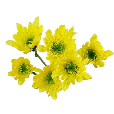 Novelty Yellow Radost