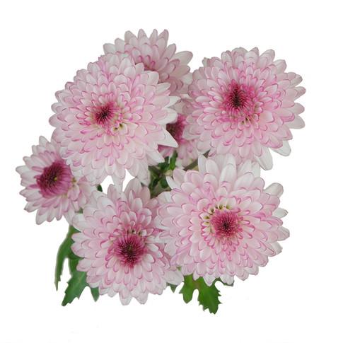 Shortcake Pink White