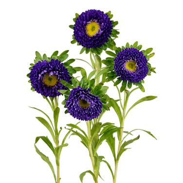 Matsumoto Purple