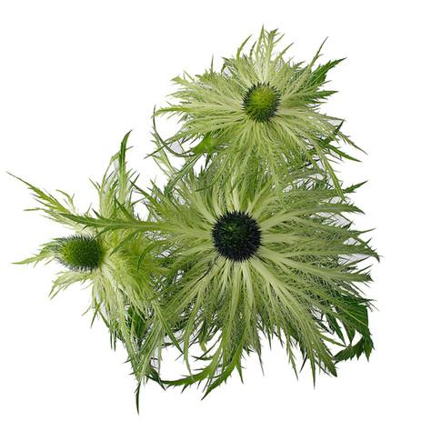 Eryngium Jackpot Light Green