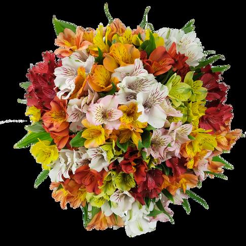 Alstromeria Big Bloom