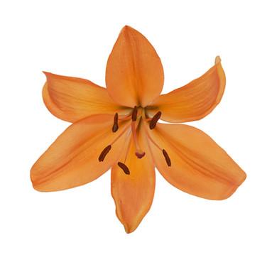 Amateras Orange