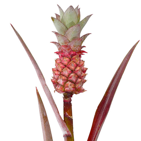 Tropical Pineapple Gold Red