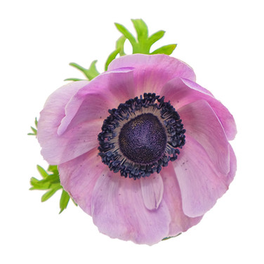 Anemone Soft Purple