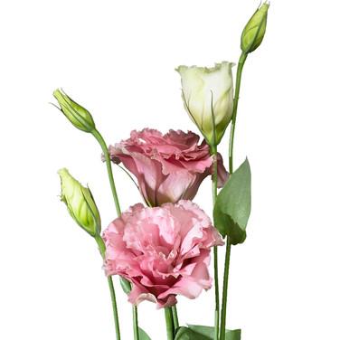 Lisianthus Brillianthus Pink
