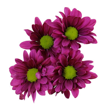 Daisy Purple Can Can