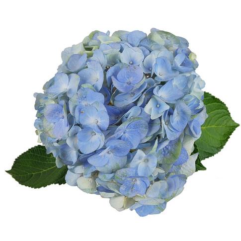 Alondra Blue