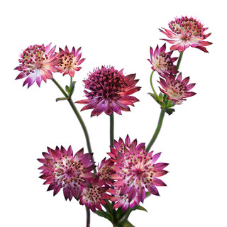Astrantia Pink
