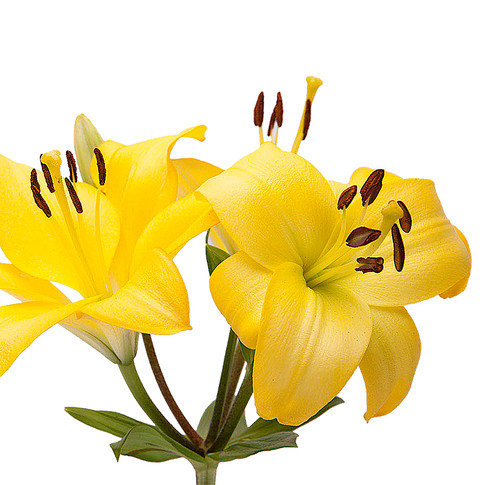 Lily LA Yellow