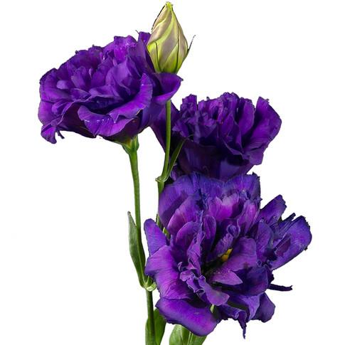Lisianthus Brillianthus Purple