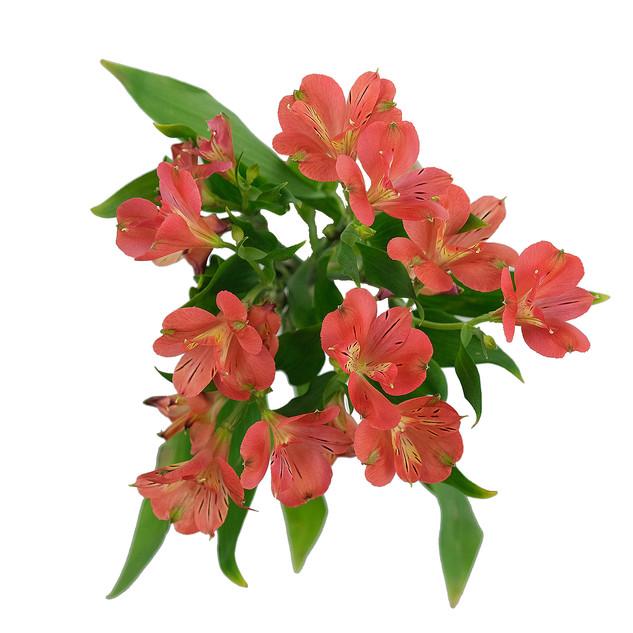 Alstro Florinca Pink