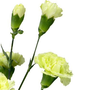 Mini Carnation Green