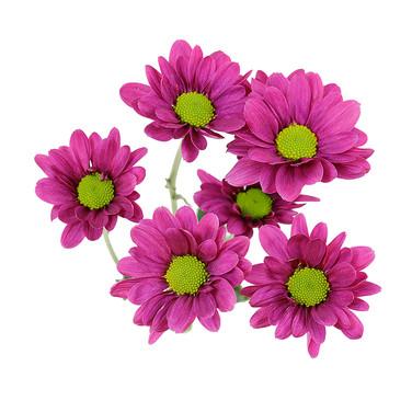 Daisy Purple Diego