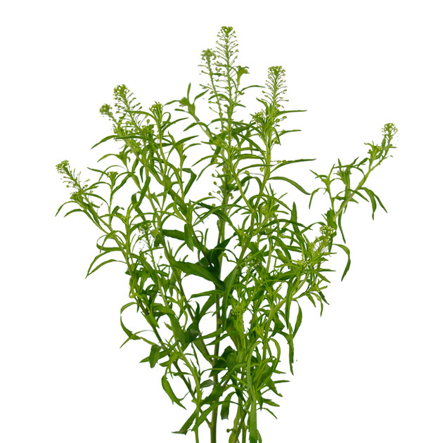 Green Dragon Lepidium