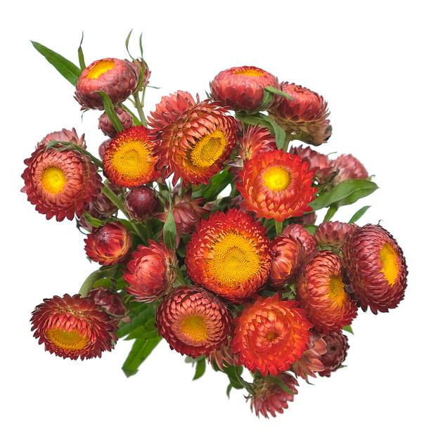 Pom Copper Red