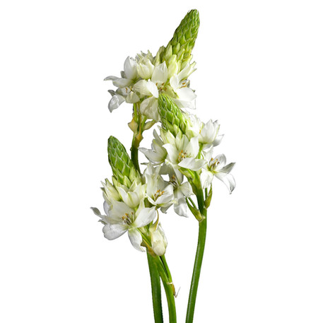 Dubium White