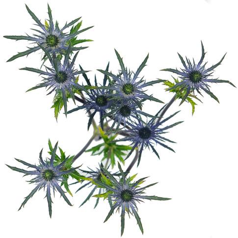 Alpino Blue