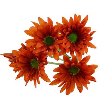 Daisy Orange Atlantis