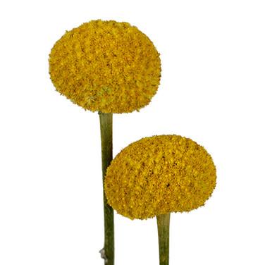 Craspedia Pop Yellow