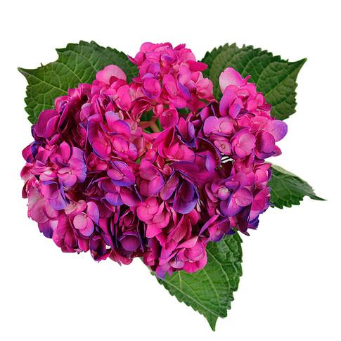 Hydrangea Bicolor Vanda