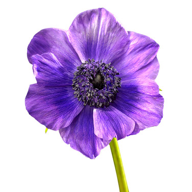 Anenome Purple