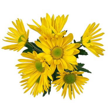 Daisy Clue Yellow