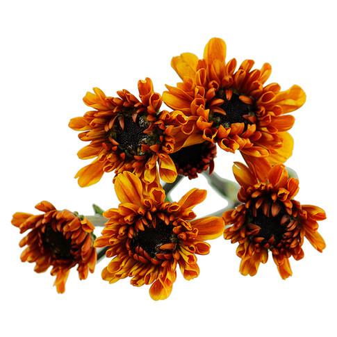 Daisy Orange Viking