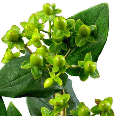 Hypericum Peatif Green