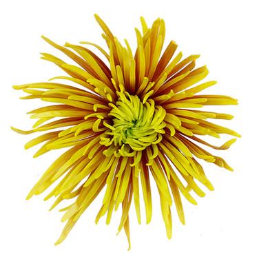 Saffina Yellow